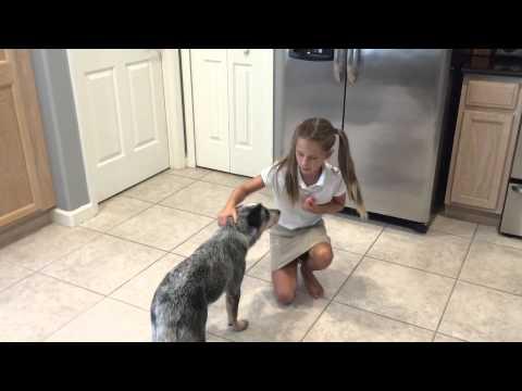 Blue Heeler Puppy Shows Off Lots of Tricks
