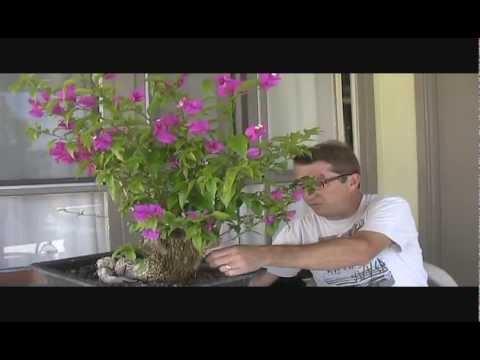 The Aqua Bougainvillea Bonsai Project
