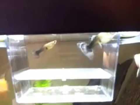 Come capire se un cuppo incinto youtube for Sala parto pesci