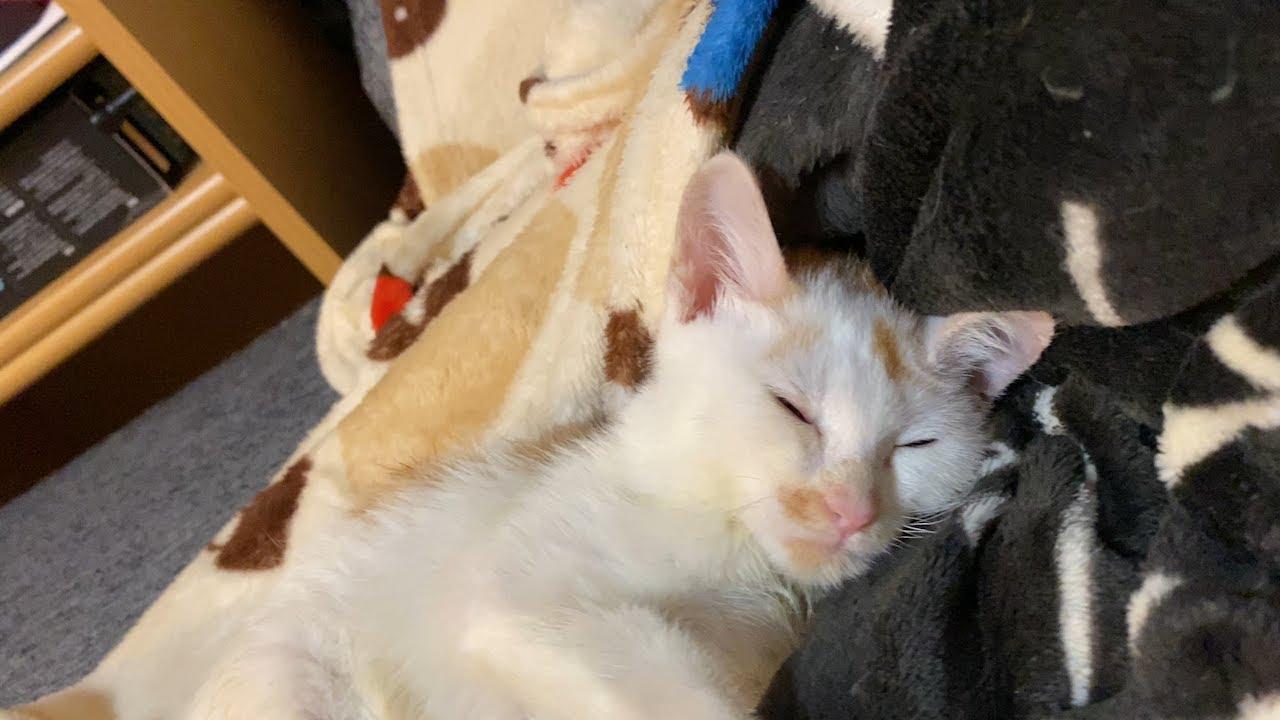 毛布が気持ち良すぎて食後すぐに寝てしまう子猫のロロ