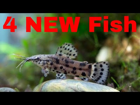 New Fish: I Have Bought 4 Little Hoplo Catfish