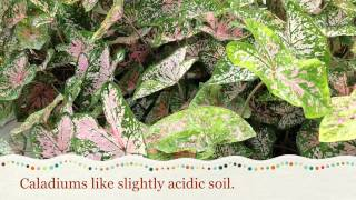 Caring for Caladiums
