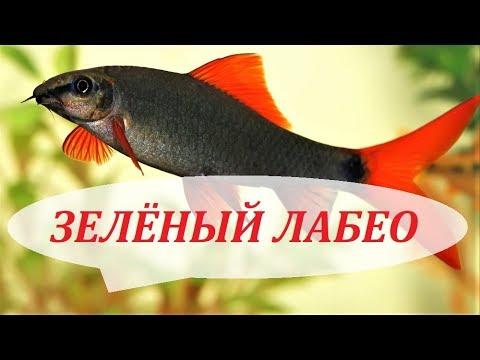 Лабео Зелёный рыбка аквариумная, совместимость, содержание ...