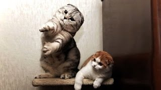 TRY NOT TO LAUGH 😂 Best Cat Fails of All Times (HD) [Funny Pets]