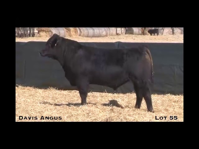 Davis Angus Lot 55