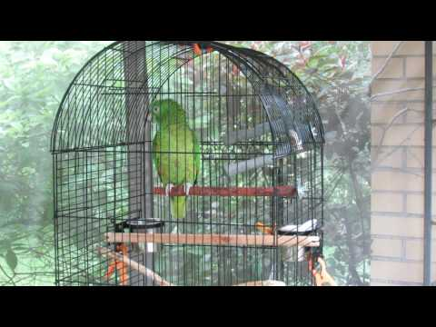 Marley our amazon parrot singing and talking (My Curly headed baby @ 350)