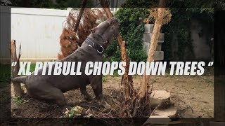XXL PITBULL CHOPS DOWN TREES | BGK's SHADOW OF MANMADE KENNELS | XXL BLUENOSE PITBULL |  BIG HEAD