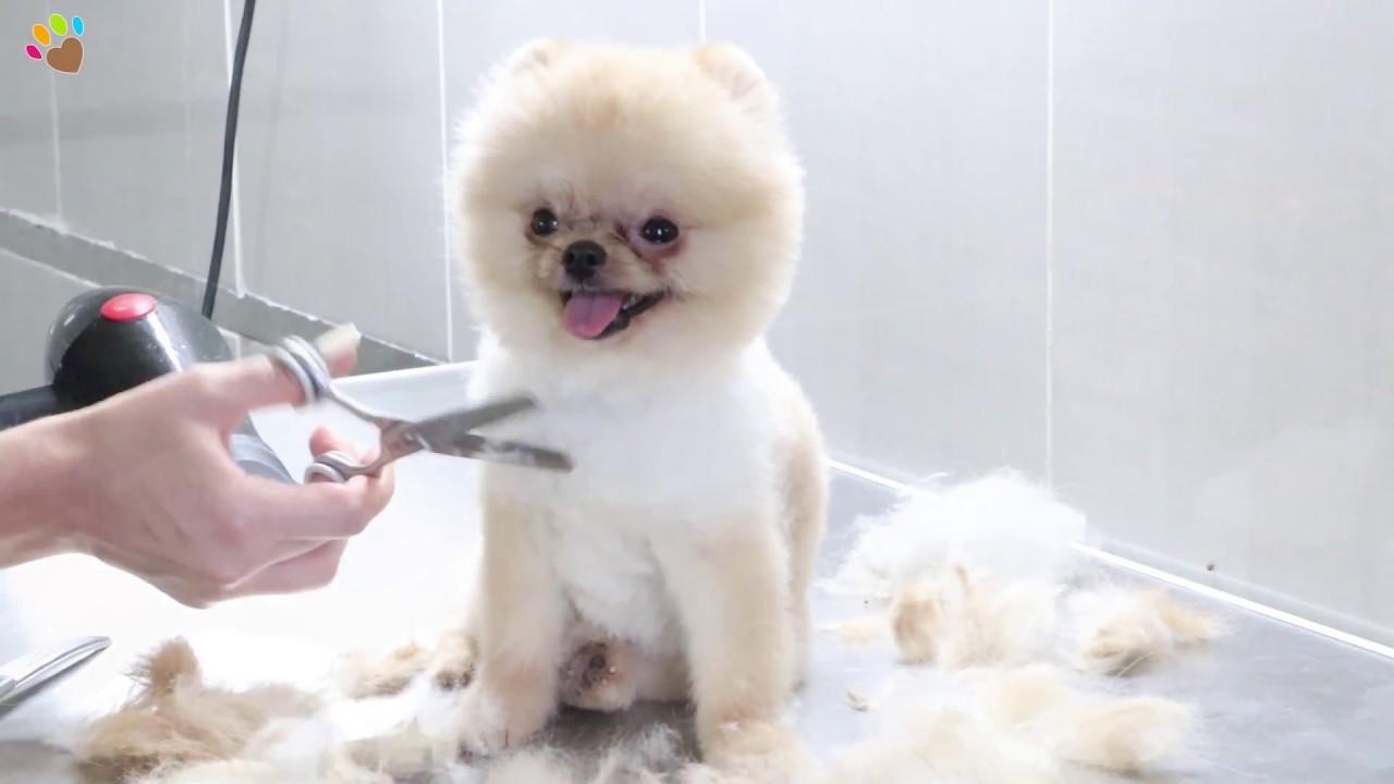 Traş 246 Ncesi Ve Sonrası Pomeranian Boo G 252 Zelliği Youtube