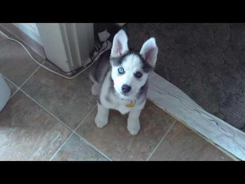 Husky Puppy Talking saying 'I love you'