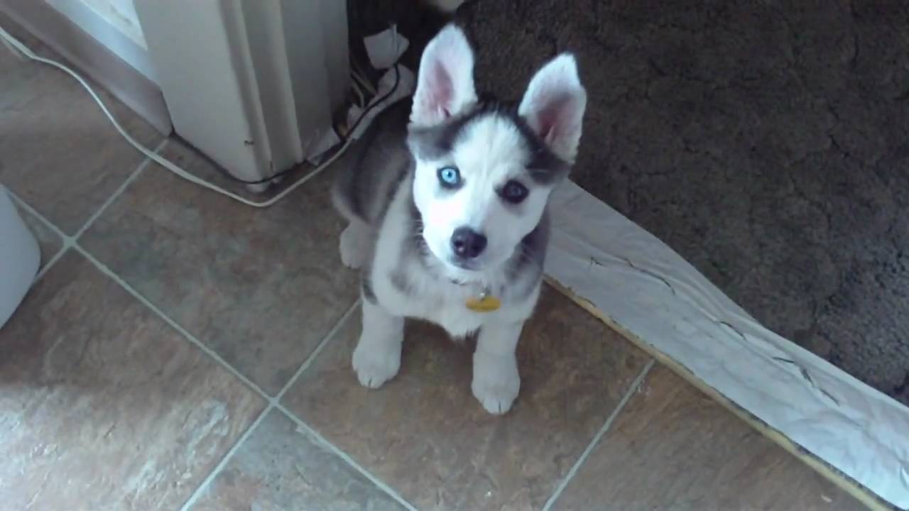 I Love You Husky Puppy Husky Puppy Talking sa...