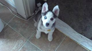 "Husky Puppy Talking Saying ""i Love You"""