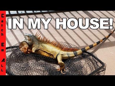 Wild IGUANA IN MY HOUSE ATTACKS!