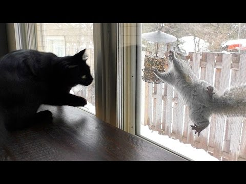Cats VS Squirrels (Kitty TV)