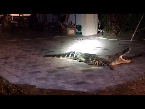 Wranglers Catch Feisty Alligator That Wandered Into Family
