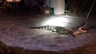 Wranglers Catch Feisty Alligator That Wandered Into Family's Garage thumbnail