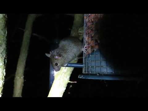 Wood Mouse on a Bird-Feeder