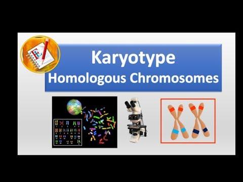 Karyotype And Homologous Chromosomes