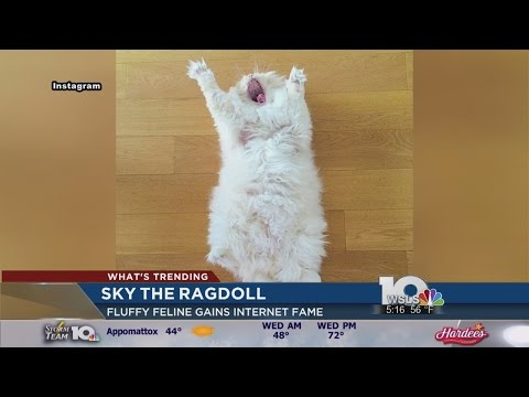 This cat named Sky the Ragdoll is almost too fluffy to be real