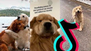 The Best Golden Retriever TikTok Compilation 2021 | Dogs Of TikTok