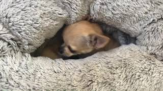 Tiny chihuahua has a surprise inside her snuggle sack!