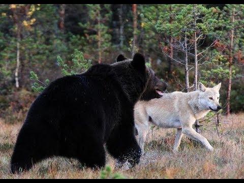 Rik Bakker .Bear and Wolf Friends for Life .Native American Flute Music.