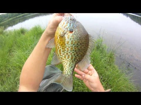 Bait Fishing #89 - Sight Fishing Pumpkinseed Sunfish And Bluegill With Worms And Leeches