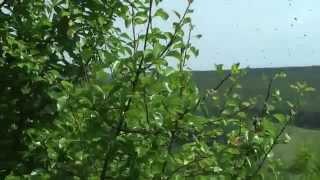 Колодное пчеловодство. Часть 2. Удачный рой. ПРП Счастливое. Молдова