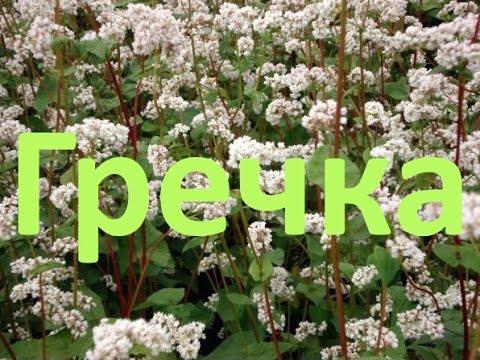 Гречиха посевная – описание и выращивание гречихи
