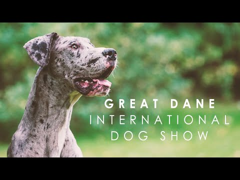 Great dane stage - International Dog and Cat Show 2017, Vilnius, Lithuania