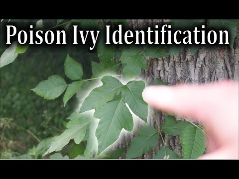 Poison Ivy Pictures and Identification Tips