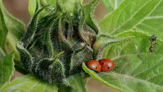Как избавиться от муравьев при помощи нашатырного спирта. как избавиться от тли в огороде навсегда