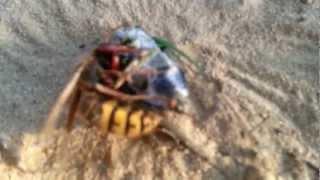 wasp vs cicada wv
