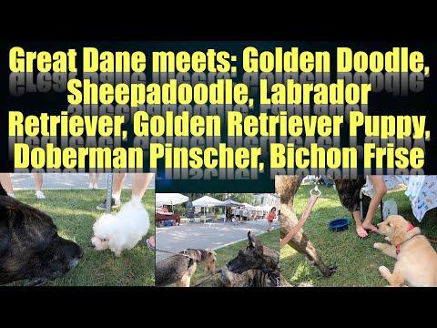 great-dane-meets:-labrador-ret.,-golden-ret.-puppy,-golden-doodle,-labradoodle,-sheepadoodle.....