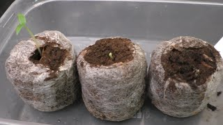 Easy Step by step guide to sowing/growing Chilli seeds