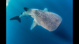 The National Aquarium and Environment Agency – Abu Dhabi: Successful Whale Shark Rescue Mission