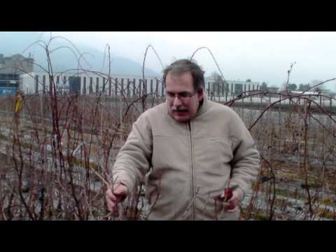 How to prune a black currant