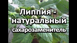 Огород на подоконнике.  Выращиваем Липпию - натуральный сахарозаменитель.