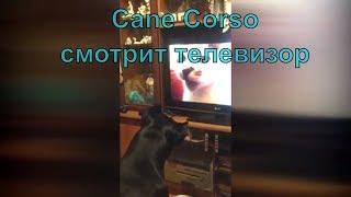 Прикольная собака кане корсо смотрит телевизор с котятами. #canecorso