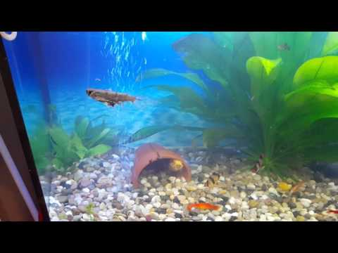 African Butterfly Fish