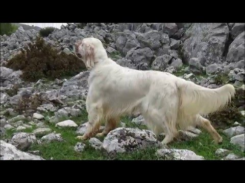 English setter GRAND CH.GR TRAILER - ZICKO -