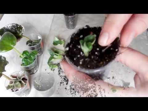 Узамбарская Фиалка Как и когда рассадить деток сенполии