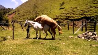 Repeat youtube video Cavalo Baio Amarilho cruzando égua