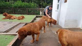 Grooming Dogue de Bordeaux/brushing the ginger idiots