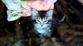 Отдам котят в хорошие руки в Херсоне
