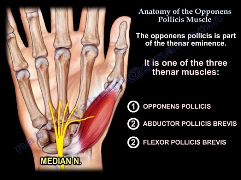 Anatomy Of The Opponens Pollicis - Everything You Need To Know - Dr ...