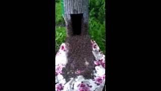 Заселение 2 сваленных роёв пчел в дуплянку(колодуили бортьи)