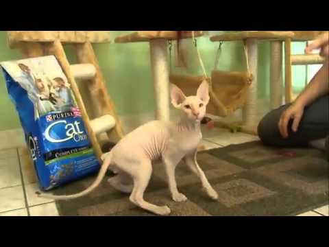 Cats 101 Animal Planet - Peterbald ** High Quality **