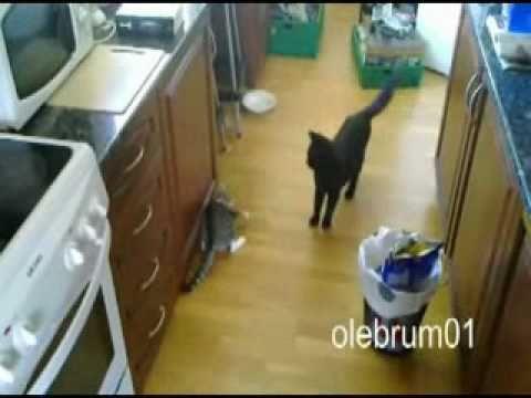 Cat Attack FAIL