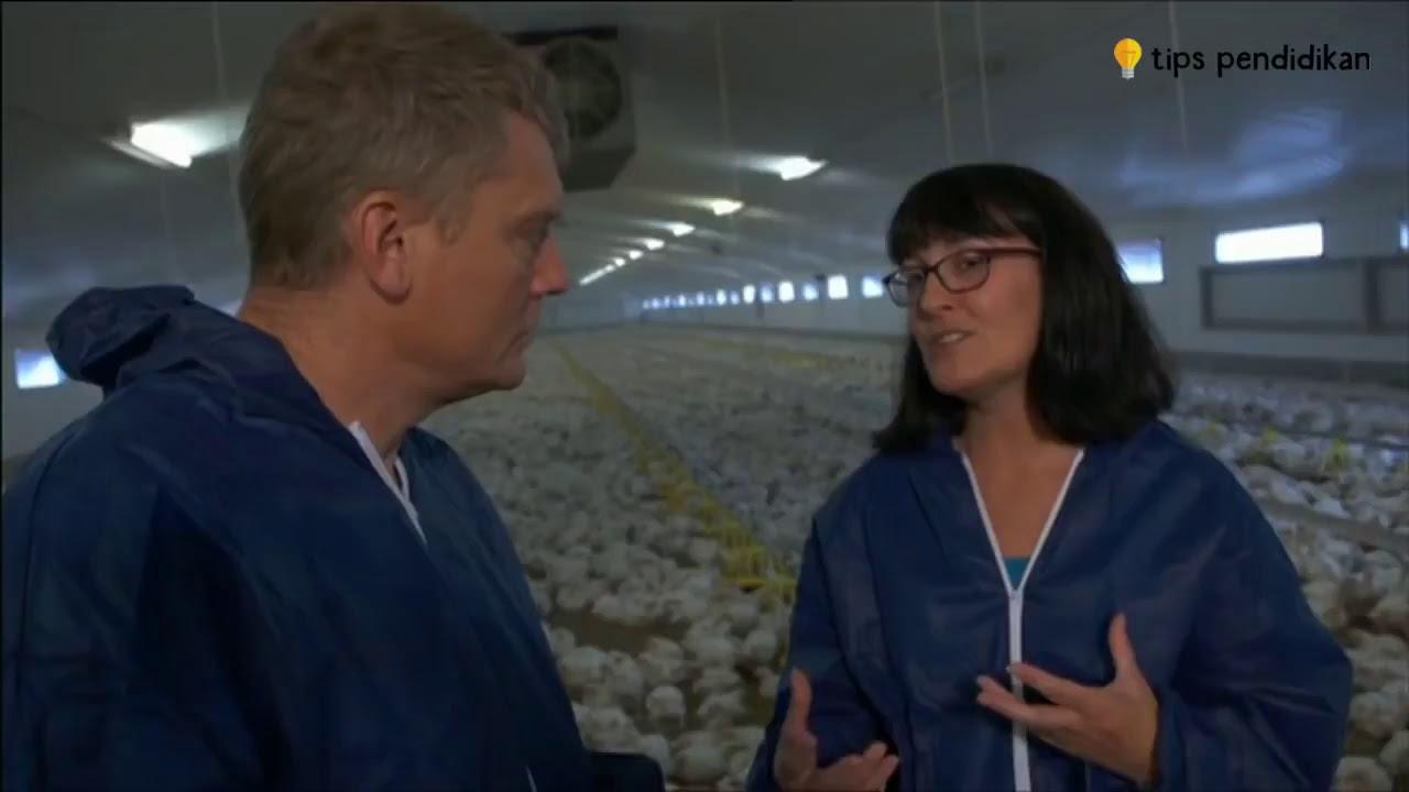Ikuti Cara Agar Sukses Beternak Ayam Potong Untuk Pemula ...