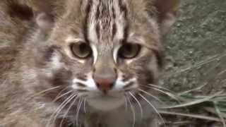 ツシマヤマネコの子猫。生後6か月(福岡市動物園) ツシマヤマネコ 検索動画 21